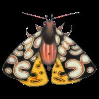 Moth schwarz und gelb