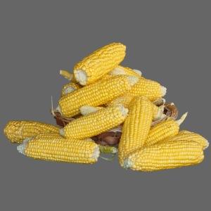 Herbst Mais Maiskolben