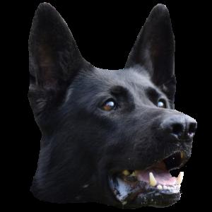 Schäferhund,Hundekopf,Hundesport,Diensthund