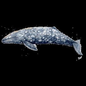 Grauwal - Baleine grise - Grauwal