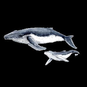 Buckelwal - baleine à bosse Buckelwal
