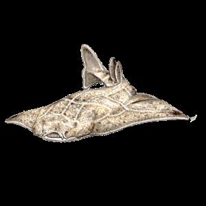 Lote - Engelhai - Shark - Requin ange