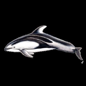 White-sided dolphin - Lagénorhynque - Lag