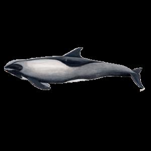 Dolphin Kopf Melone - Peponocephala electra