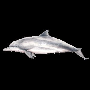 Tucuxi - Fluss Dolphin - Sotalie