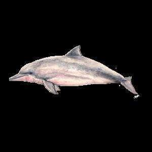Sotalie - Tucuxi - Flussdelfin Pink Dolphin