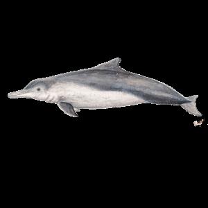 Australische Delphin - Dolphin Sousa sahulensis