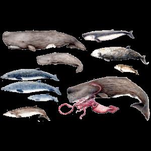 Pottwale und Schnabelwal - Pottwale & Schnabelwal
