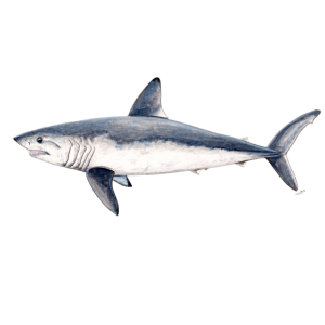 Heringshai - Heringshai Requin taupe Shark-