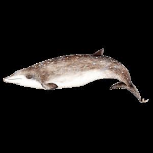 Schnabelwal - Schnabelwale - Baleine à bec