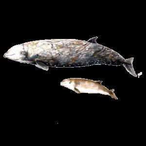 Cuvier-Schnabelwal - Cuvier-Schnabelwal Schnabelwal
