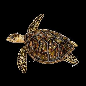 Hawks - Echte Karettschildkröte Tortue imbriquée