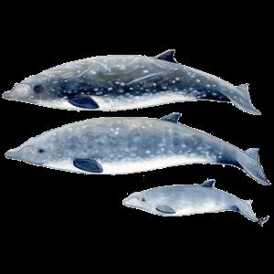 Blainville-Schnabelwal - Schnabelwal - Baleine à bec