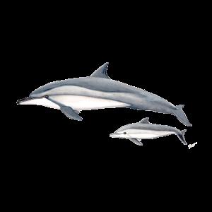 Spinner Delphin - Langschnauzendelfin - dauphin