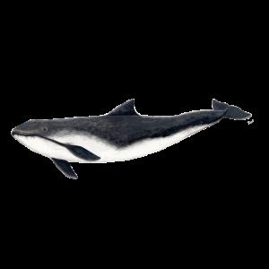 Tümmler - Schweinswal - marsouin