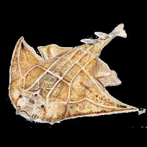 Lote - Engelhai - Requin ange