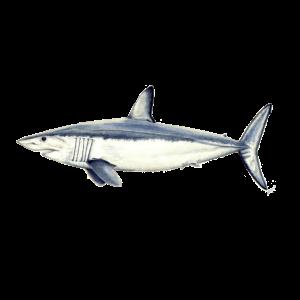 Mako Makohai - Makohai - requin