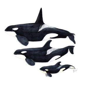 Orca - Schwertwal - ecause