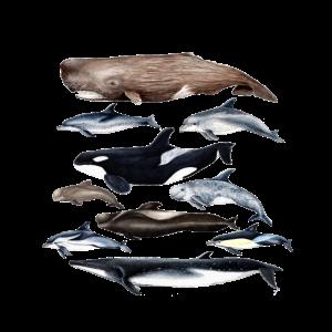 Wale und Delfine Wale und Delfine Wale und Delfines - cétacés