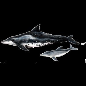 Rauzahndelfin - Dolphin - Steno rostre