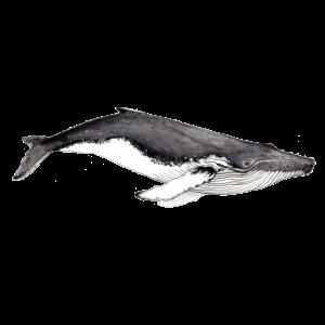 Yubarta - Baleine à bosse - Buckelwal