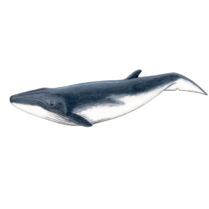Bebe Baby-Bryde-Wal - Bebe baleine