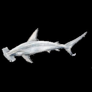 Martillon Hai - Hammerhai - Requin
