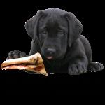 Labrador Retriever_schwarz