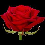 Roos rood 3