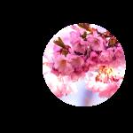pinkcherryblossom_CIRC_shrink.png