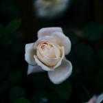 white_roseflsq_Curv 2.png