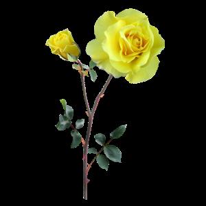 Schicke gelbe Rose Geschenk Idee