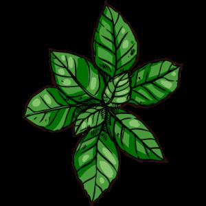 Organische Basilikumpflanze