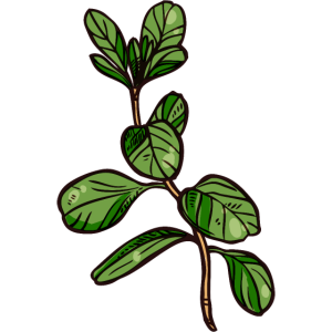 Organische Majoranpflanze