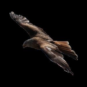 Adler - der König des Himmels