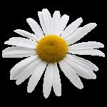 Margerite Blume Frühling