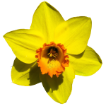 Narzisse Ostern Frühling