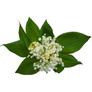 Maiglöckchen Blume Mai Frühling