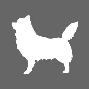 Chihuahua pitkakarva valkoinen