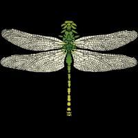 Grüne Flussjungfer Libelle