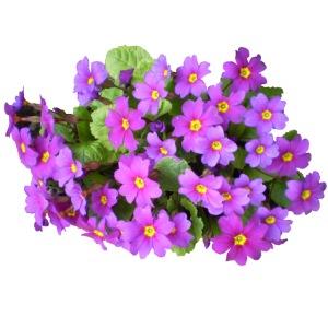 Primeln Blume Frühling