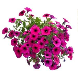 Petunie Blume Sommer Blumenampel