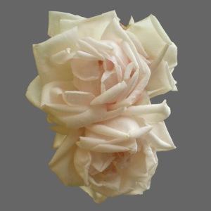Rosen weiß Sommer
