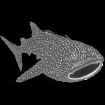 walhai wal hai fisch whale shark taucher tauchen diver diving