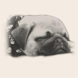 Schlafender Mops mit Totenkopf Bandana