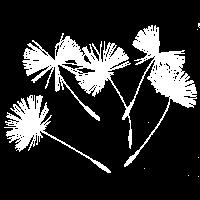 Pusteblumen Löwenzahn Samenkapseln