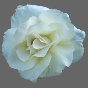 Rose weiß Blume Sommer