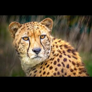 Gepard-Porträt