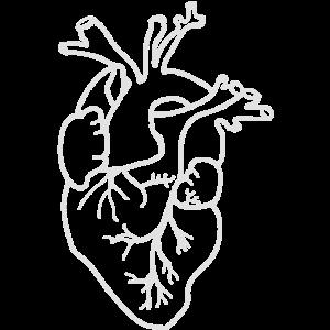 Herz Anatomie | Weiß