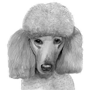 Poodle - standard - portrait